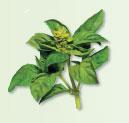 Irresistible Herbs - Basil